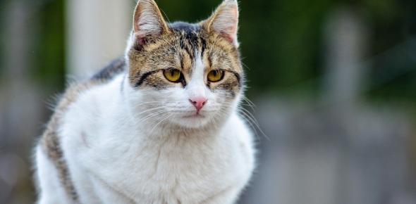Cats Domestic Animals Questions! Quiz