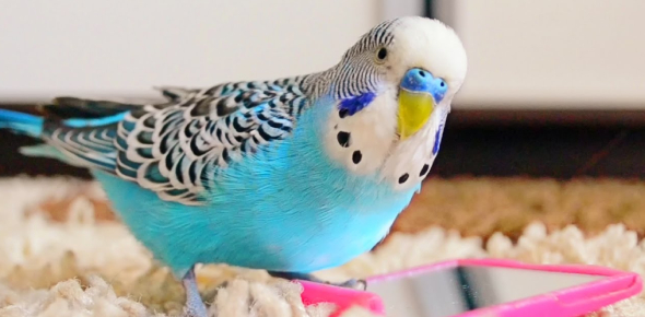 The Budgie Birds Quiz: Trivia Facts!