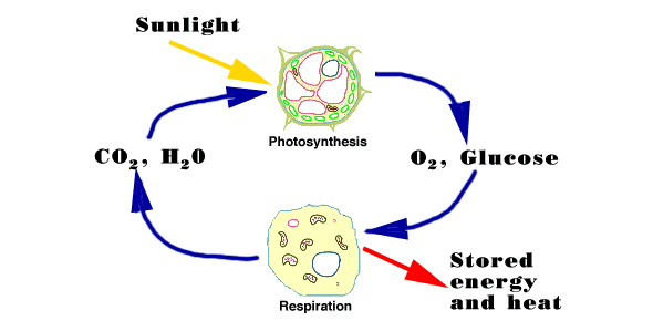 Photosynthesis Test: 8th Grade Quiz!
