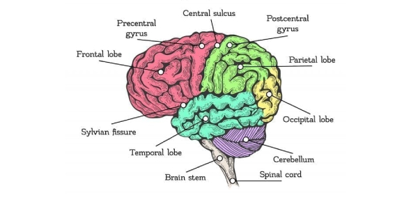 How Well Do You Know About Parts Of The Brain?