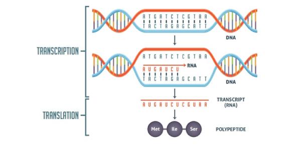 Biology Test: Transcription And Translation