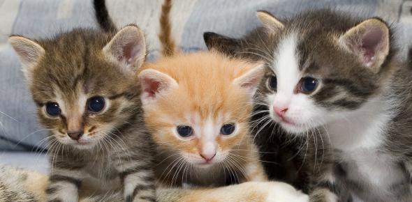 Cats Domestic Animals Quiz: Trivia