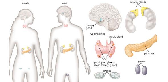 Endocrine System Functions: Trivia Quiz!