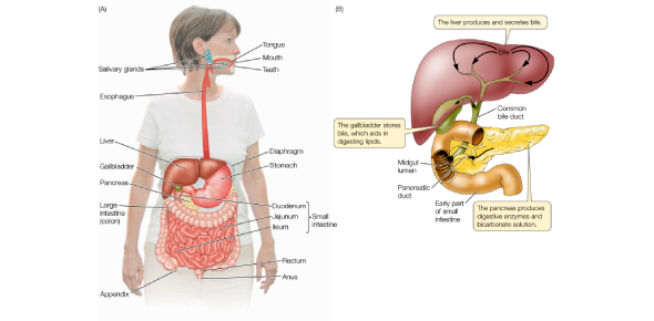 Digestive System, Organs And Enzymes Quiz