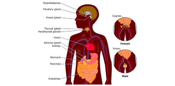 Endocrine System Exam Quiz: Trivia!