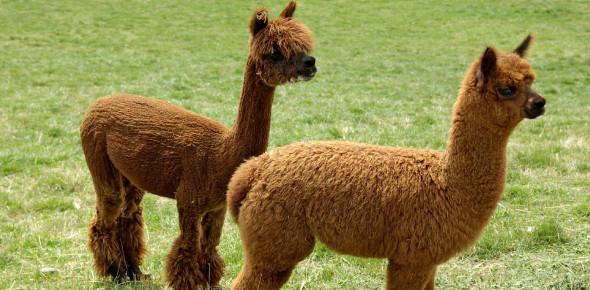 Alpaca Animal Facts Quiz