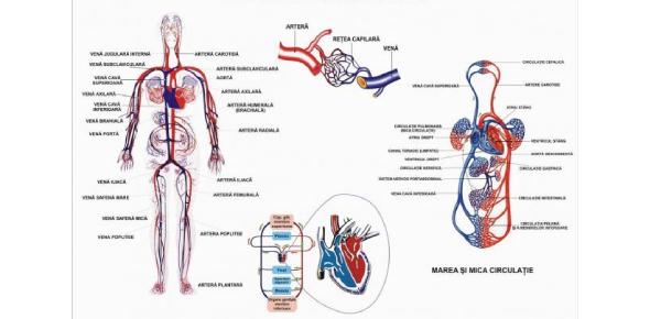 Sistemul Circulator: Quiz!