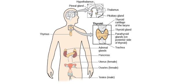 Endocrine System Quiz: MCQ Trivia!