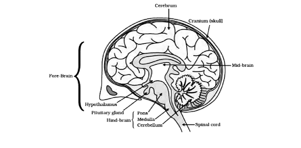 Quiz: Physiology Of The Brain And Its Various Functions