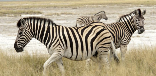 What Do You Know About The Zebra Life Quiz