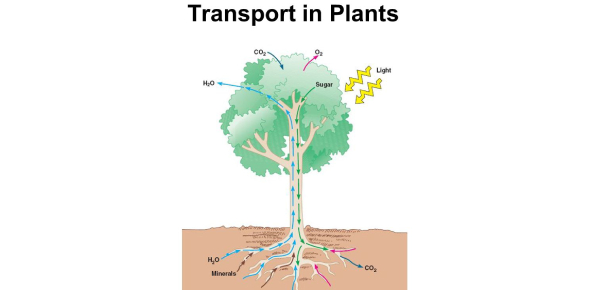 Transportation In Plants! Trivia Questions Quiz