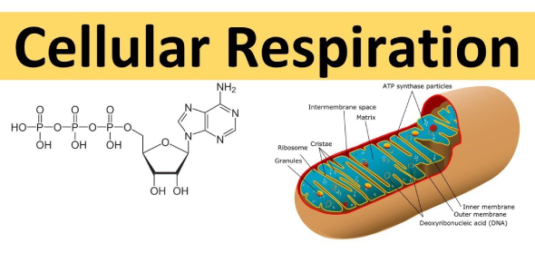 Four Stages Of Cellular Respiration! Trivia Quiz