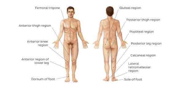 Anterior And Posterior Body Regions Quiz