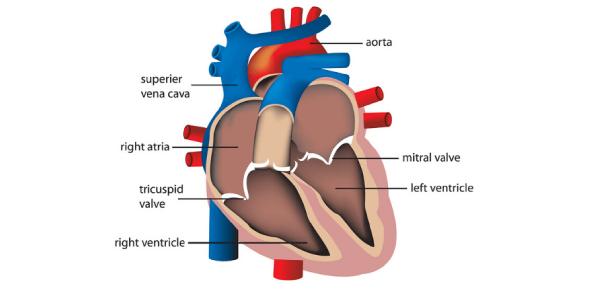 Quiz: Identify Various Parts Of Human Heart