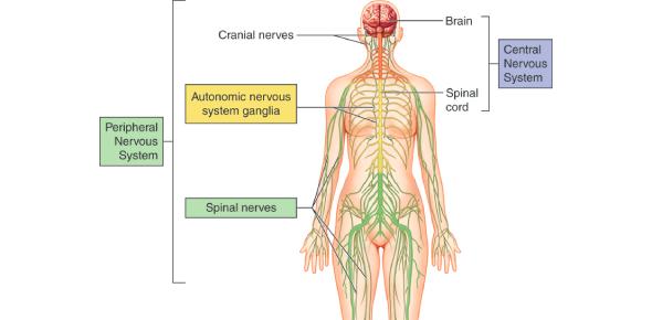 Human Body Quiz: Nervous System