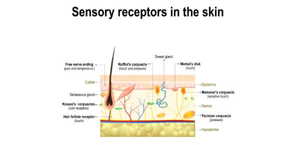 Objective 4 - Sensory Receptors