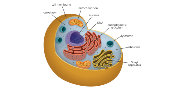 Quiz For Cells: Especially The Structures Of A Cell
