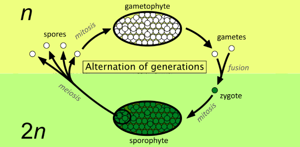 Alternation Of Generation And Protista