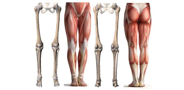 Lower Limb Anatomy Quiz