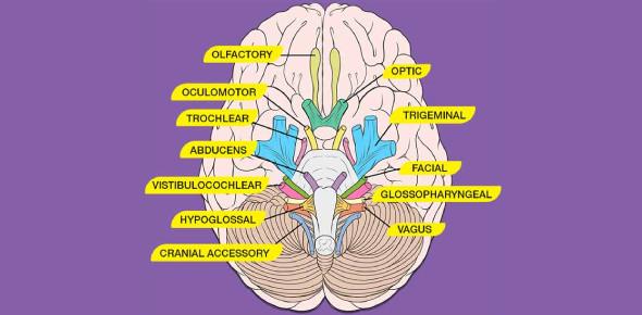 Cranial Nerves Quiz Questions: MCQ!