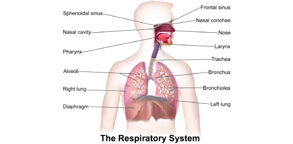 The Respiratory System Quiz! Exam Questions!