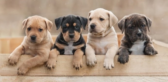 Dog Breeds Interesting Quiz! Trivia
