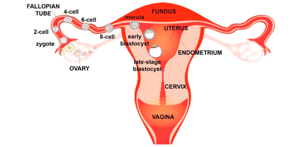 Ultimate Quiz On Female Reproductive System! Trivia