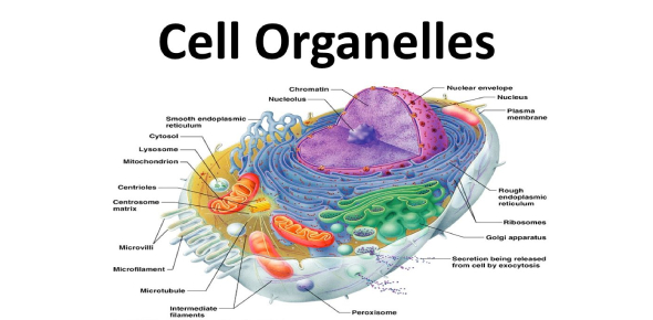 Cell Organelles: The Functions! MCQ Quiz - ProProfs Quiz