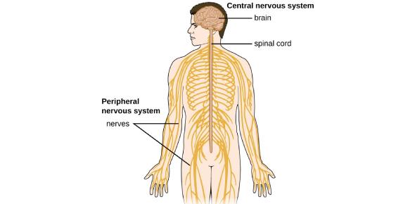 Quiz On Anatomy Nervous System! Trivia
