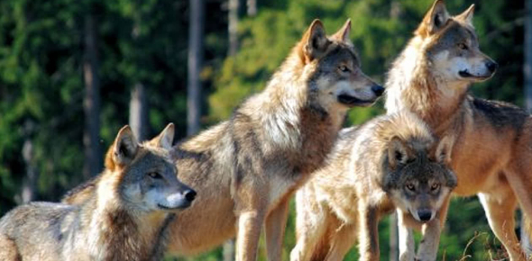 What Rank Are You In A Wolf Pack And What Do You Look Like?