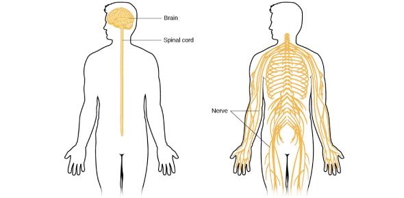 MCQ On Nervous System: Trivia Quiz!