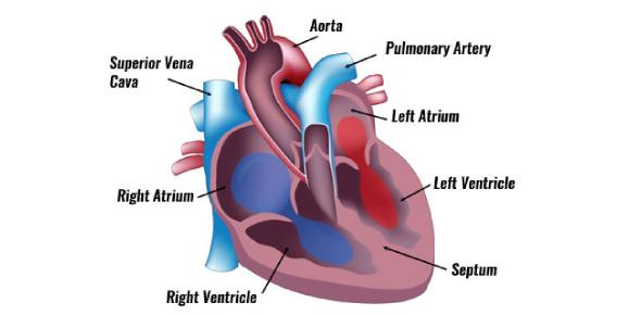 Anatomy Of The Heart Quiz