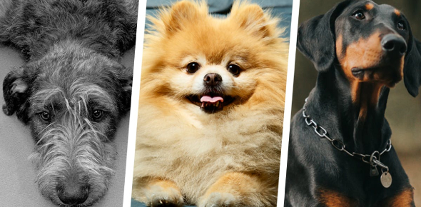 What Dog Breed Does Your Personality Match With Quiz