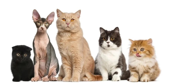 Cat Breed Ultimate Facts! Trivia Quiz