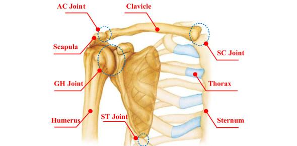 Quiz 3: Shoulder Complex