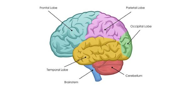 The Brain Anatomy Trivia Exam: Quiz!