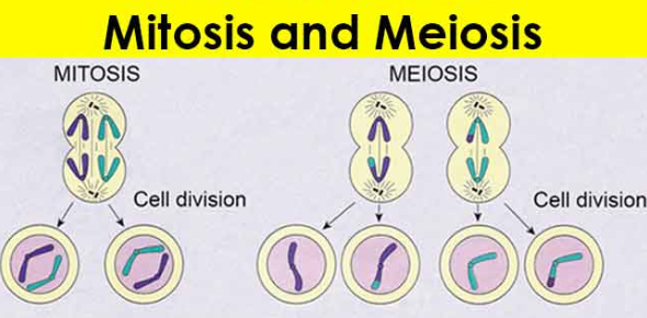 Biology: Cell Division Quiz On Mitosis And Meiosis!