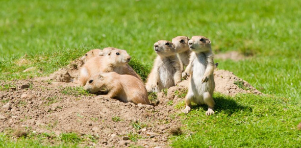 Prairie Dogs Quiz: How Much You Know?