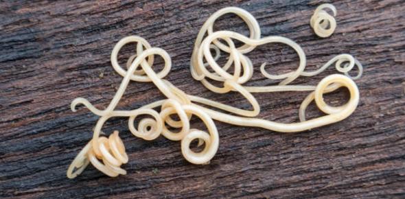 Roundworms Quiz