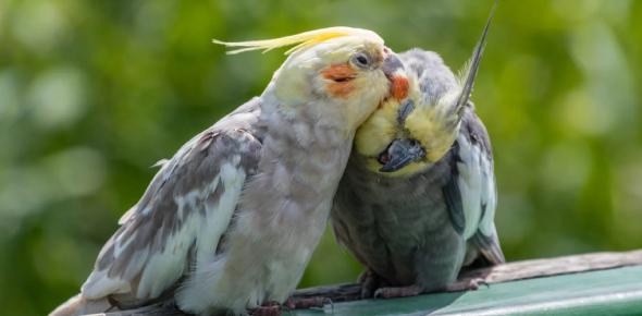 Test Your Cockatiel Intelligence: Quiz!