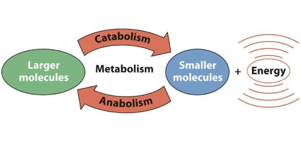 Metabolism Quiz: Ultimate Trivia Test!