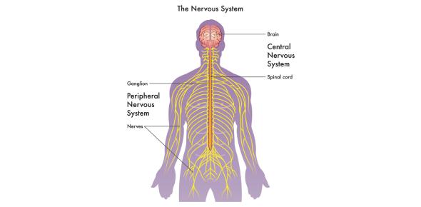 The Nervous System Quiz