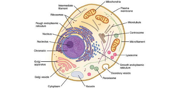 Function Of Cells: How Much You Know? Quiz