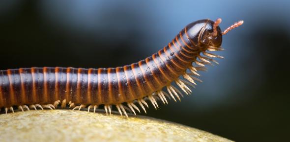 Myriapods Ultimate Facts Quiz: Trivia!