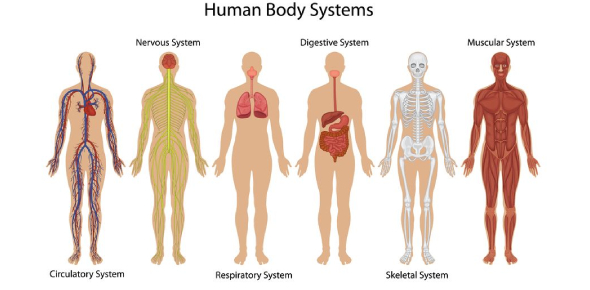 Human Body- Organ Systems Test
