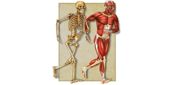 Bones And Muscles Quiz: MCQ Trivia!