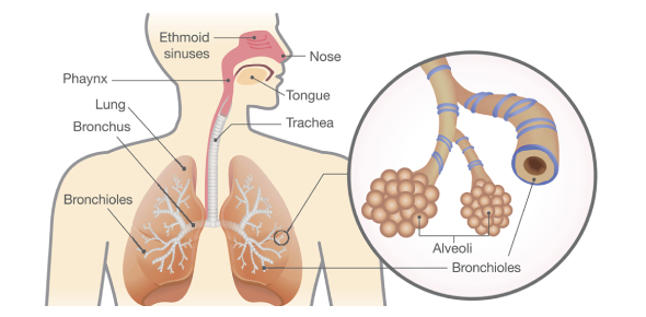 The Lungs And Breathing Quiz! Trivia