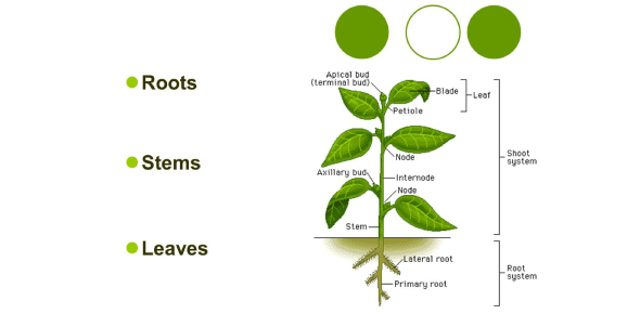 Stems, Roots And Leaves Quiz! Trivia