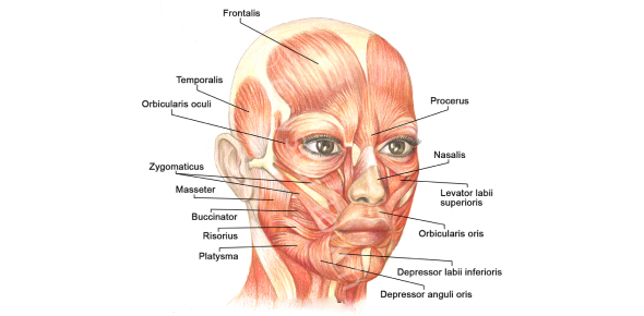 Identify The Facial Muscles! Trivia Quiz