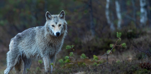What Kind Of Wolf Are You? (With Pictures.)